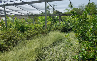 shrubs for sale beaumont, texas